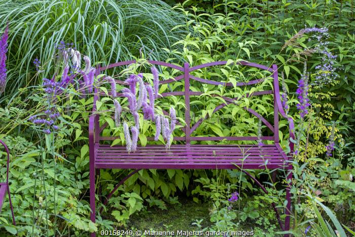 Burgundy bench in wild garden, Sanguisorba hakusanensis 'Lilac Squirrel', thalictrum