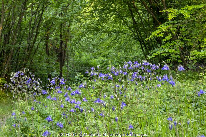 Aquilegia vulgaris at woodland edge