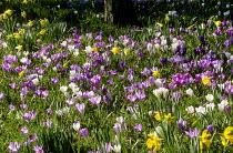 Crocus vernus, naturalised Narcissus pseudonarcissus