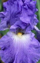 Iris 'Heure Bleue'