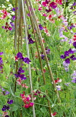 Lathyrus odoratus including 'Lord Nelson' (dark blue), 'Queen of the Isles' (striped pink), 'Flora Norton' (pale blue) on bamboo canes