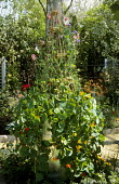 Metal container, sweet peas on willow wigwam frame, nasturtiums