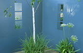 Square mirrors on blue painted walls, agapanthus, silver birch