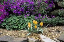 Geraniums, aubrieta, Tulipa 'Orange Princess'