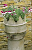 Pelargonium 'Renate Parsley' in chimney pot