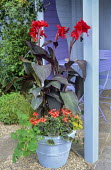 Canna 'Black Knight' and verbena in container