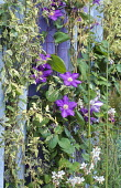 Clematis growing up blue and purple palisade poles