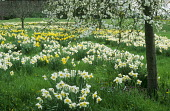 Daffodils naturalised in lawn under cherry trees