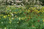 Magnolia underplanted with daffodils and tulips naturalised in lawn