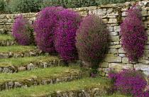 Aubrieta, dry-stone wall