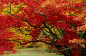Acers in autumn