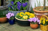 Primulas, crocuses, narcissi, hyacinths in containers