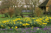 Daffodils and crocus naturalized in lawn