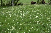 Wildflower meadow, naturalised Narcissus poeticus