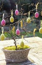 Corylus avellana 'Contorta' twigs, Easter egg decoration