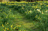 Naturalised narcissus in meadow, mown grass path