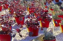 Heuchera in painted pots