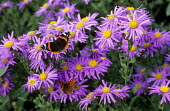 Aster amellus 'King George', Red Admiral, Comma