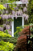 Paved front garden with containers, wisteria covered house, red acer, Malvern Terrace, London