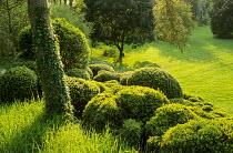Cloud-pruned box, Phillyrea latifolia