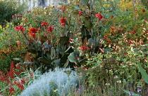 Canna 'General Eisenhower', Salvia nemorosa 'Ostfriesland', Ipomoea lobata