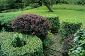 Clipped shrubs, box and berberis, view to meadow