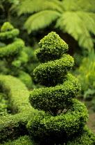 Spiral box topiary, tree fern