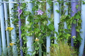 Clematis, palisade fence