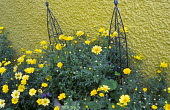 Argyranthemum 'Jamaica Primrose', yellow painted wall