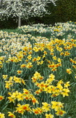 Daffodils naturalised in lawn