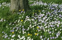 Anemone blanda naturalised in grass