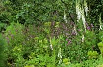 Silene dioica, Digitalis purpurea f. albiflora