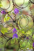 Clematis alpina on wire bedsprings