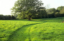 Mown path through grass, oak tree