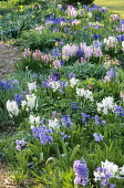 Hyacinths planted out after flowering in containers and naturalised