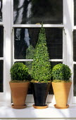 Topiary in containers on window ledge