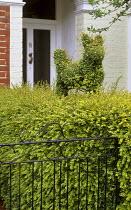 Topiary dog, Lonicera nitida 'Baggesen's Gold'