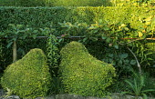 Topiary hens, step-over apple cordon