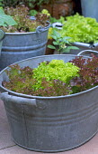 'Lollo Rosso' and 'Lollo Verde' lettuces in galvanised metal, enamel and terracotta containers