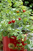 Tomato 'Garden Pearl' in recycled cake tin