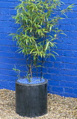 Phyllostachys nigra in circular container against blue wall, blue glass mulch