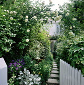 London front garden, stepping stone path, Rosa 'Climbing Iceberg' syn. Rosa 'Schneewittchen' on arch, picket gate