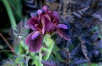 Iris 'Ruby Contrast', Anthriscus sylvestris 'Ravenswing'