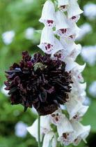 Papaver somniferum 'Black Peony' (Paeoniiflorum Group), white digitalis