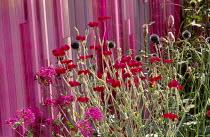 Pink striped walls, echinops, Lychnis chalcedonica,  Lychnis coronaria