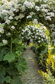 Arches with rambling Rosa 'Wedding Day' and  Rosa helenae, cobbled path to house