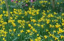 Naturalised Narcissus 'Jetfire'
