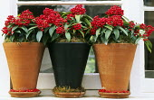 Skimmia japonica subsp. reevesiana in terracotta containers on windowsill