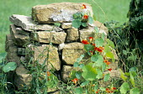 Tropaeolum majus, dry-stone wall