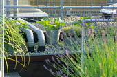 Lavender. thyme and courgettes in containers, pipes